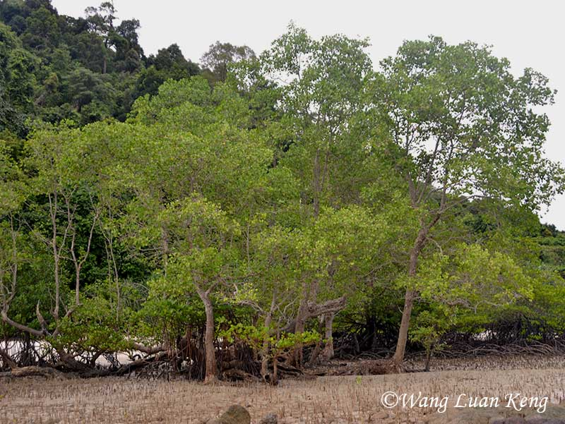 Mangrove trees with extensive breathing root systems, exposed as the tide recedes.
